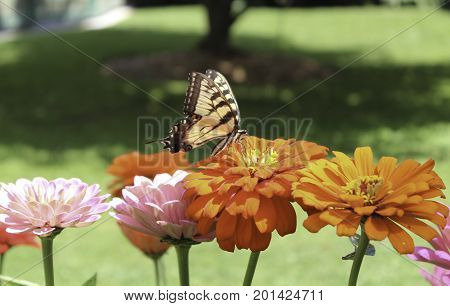Eastern Tiger Swallowtail butterfly in zinnia flowerbeds at Letchworth State Park in New York.