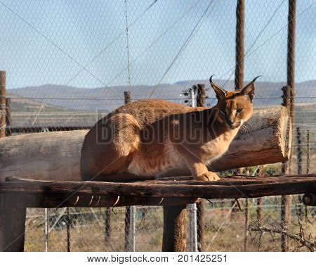 Caracal watchful on top of wooden construction