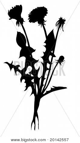 vector silhouette dandelion on white background