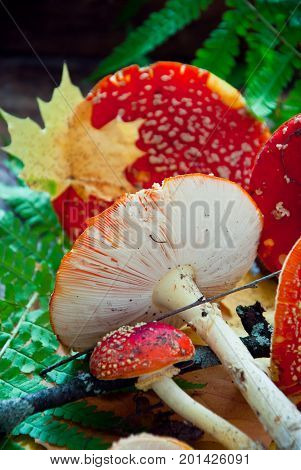 Fly agaric, red mushrooms, amanita muscaria toadstools