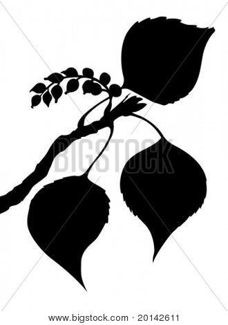 vector sheet of the poplar on white background