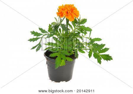 Orange Marigold plant in black pot isolated over white background
