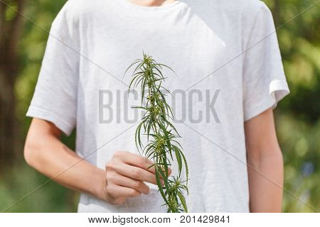 Close-up Hands Holding Sprout Of Hemp Grass On Dark Green Background