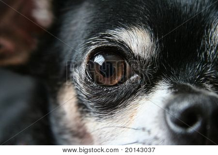 a young chihuahua eye