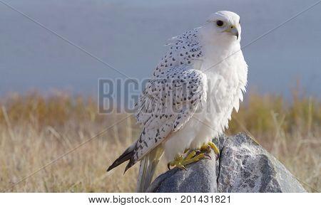 White falcon perched on a rock in Arizona