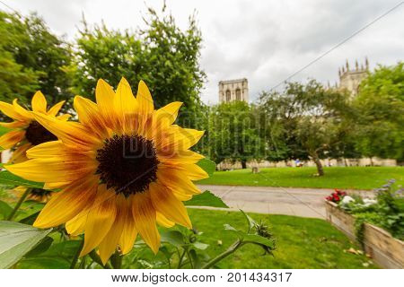 Sunflower close-up in Dean's Park in York with York Minster in the background
