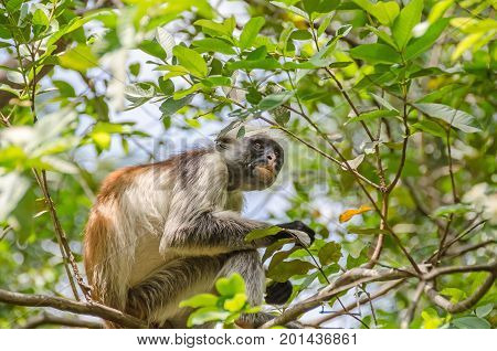 Zanzibar Red colobuses or Kirk's red colobus Old World monkeys the most threatened taxonomic group of primates in Africa on a tree in Jozani Forest on Zanzibar
