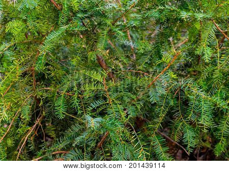 Coniferous plant yew green needles leaves background natural fresh