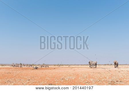 Three african elephants and herds of Burchells Zebras and Hartmann Mountain Zebras at the Rateldraf waterhole in North-Western Namibia. A flock of birds is in the air