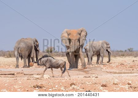 Three african bull elephants Loxodonta africana and a blue wildebeest Connochaetes taurinus at the Rateldraf waterhole in North-Western Namibia