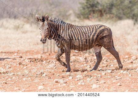 A muddy Hartmann Mountain Zebra Equus zebra hartmannae at the Rateldraf waterhole in North-Western Namibia