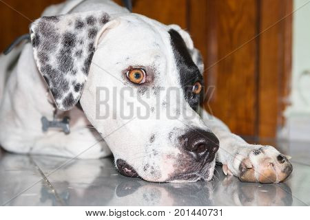 Lying English Pointer Dog With A Small Scratch On The Eyelid