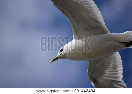 Common gull (larus canus) in flight against a blue sky close up copy space