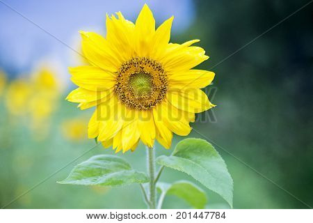 Close up sunflower view in summer, bokeh background
