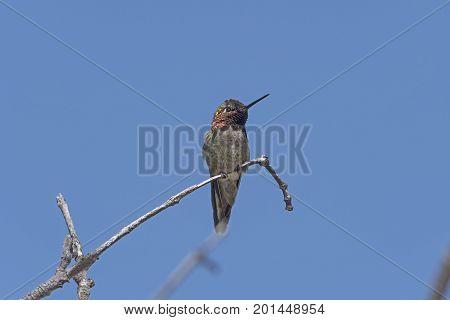 Anna's Hummingbird in a Coastal Tree near San Diego