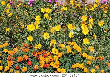 Flowerbed with Orange Mexican marigold and yellow coreopsis flowers