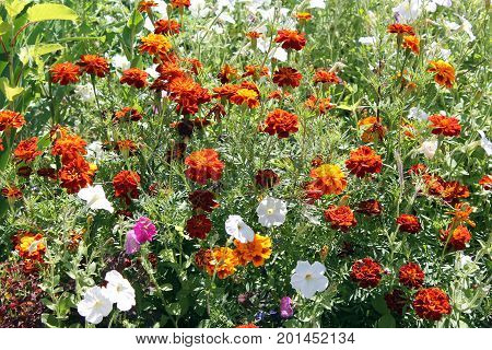 Flowerbed with Orange Mexican marigold (tagetes erecta) flowers