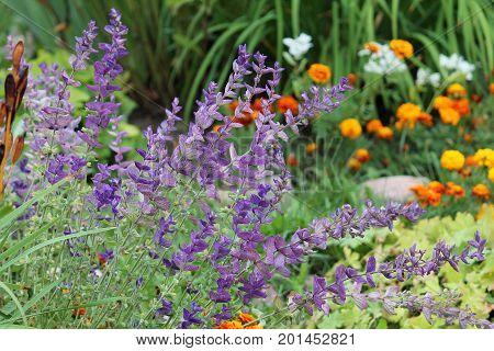 Blue Salvia Horminum plants on green flowerbed