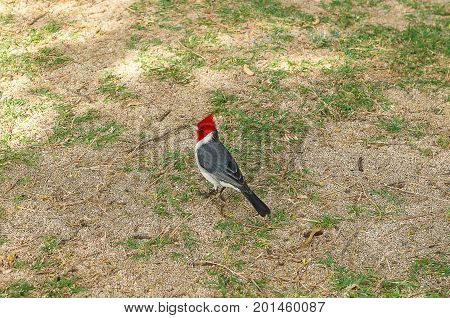 Red Crested Cardinals