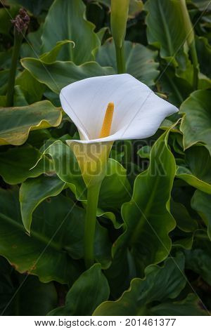 Wild Calla Lilly