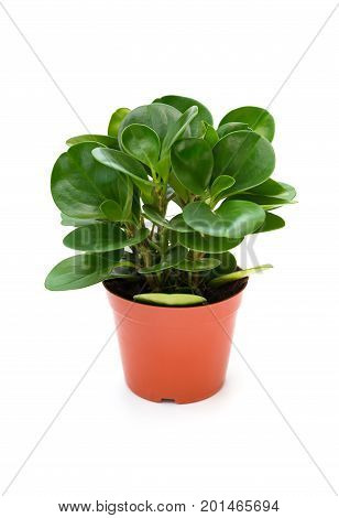pot of green ficus elastica with drips on white background