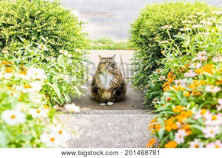 Fluffy, Large Maine Coot Cat Sitting Outside By Flowers In Summer Porch