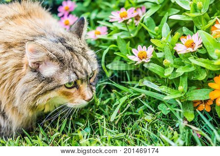 Closeup Side Profile Portrait Of Fluffy, Large Maine Coot Cat Face Outside Sniffing Green Grass In S