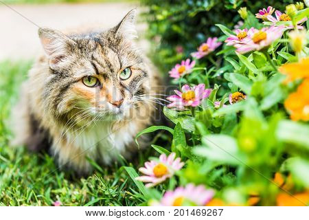 Closeup Portrait Of Fluffy, Large Maine Coot Cat Face Outside By Zinnia Flowers In Summer Garden
