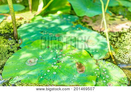 Macro Closeup Of Large Water Drops On Lily Lotus Pads In Pond Marsh During Sunny Summer