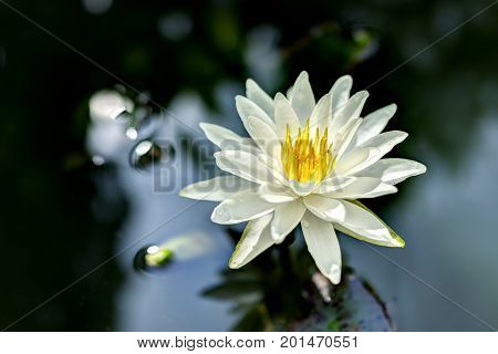 Closeup Of White Open Lily Flower In Pond With Reflection Against Dark Black Background