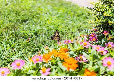 One eastern tiger swallowtail yellow butterfly on purple pink zinnia flowers in summer garden