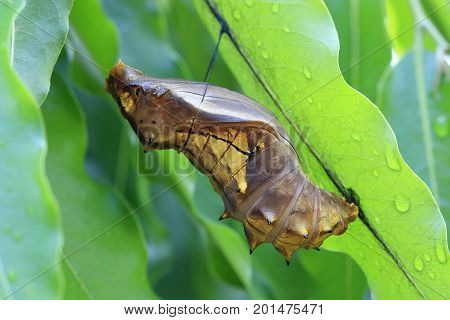 cocoon of a bird-wing butterflly attached to leaves in the garden