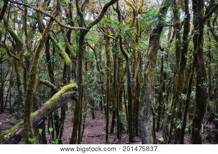 Moss covered trees in mystic forest on spanish island La Gomera