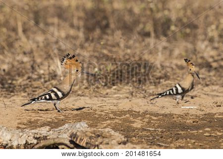 Hoopoe in the woods in Tuscany, Italy.