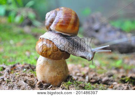 Big snail and cap mushroom in forest. Boletus edulis mushroom and snail on rain in woods