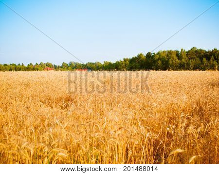 Photo of wheat spikelets in field with blue sky, forest in blurred background