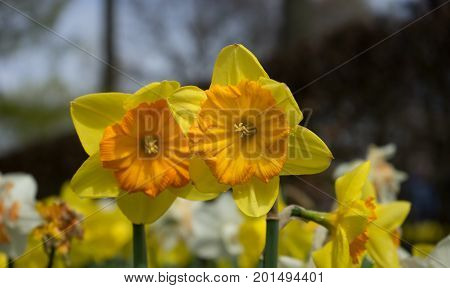 Colourful Yellow Daffodil Flowers With Beautiful Background On A Bright Summer Day