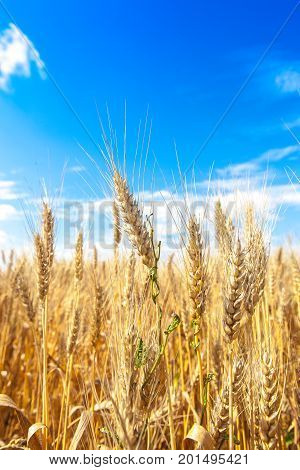 Golden winter wheat field in sunlight closeup, shallow depth of field. Agriculture, agronomy and farming background. Harvest concept.