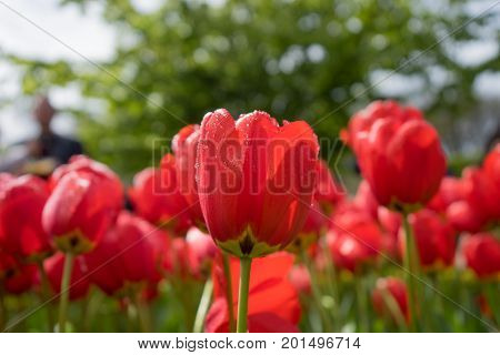 Colourful Red Tulip Flowers With Beautiful Background On A Bright Summer Day