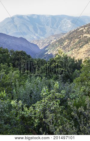 Overloaded fruit trees close Capileira village Alpujarras Granada Spain