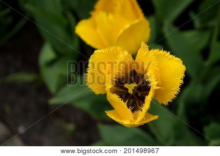 Colourful Yellow Tulip Flowers With Beautiful Background On A Bright Summer Day