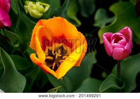 Colourful Tulip Flowers With Beautiful Background On A Bright Summer Day, Yellow And Pink Tulip