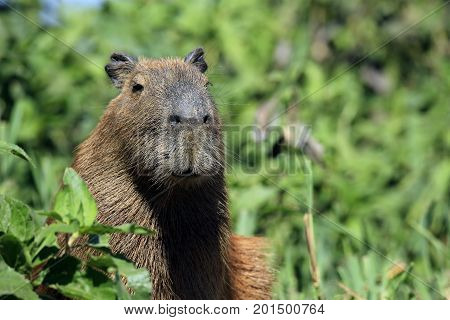 Close-up of a Capybara, in Pantanal Brazil