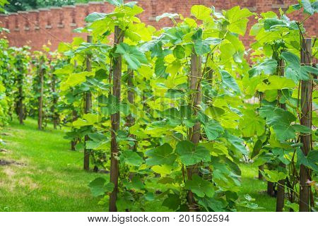 Krakow/Poland- August 14, 2017: Wawel Royal Castle, vineyard on palace complex territory near fortification wall