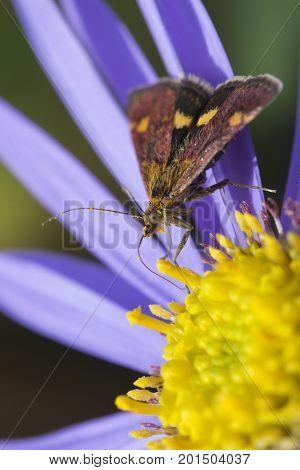 Mint Moth (Pyrausta aurata) on purple Aster