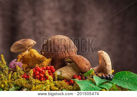 A beautiful still-life from natural large white mushrooms orange leaves of mountain ash green leaves paportnikov and other gifts of the forest. Autumn still life of mushrooms
