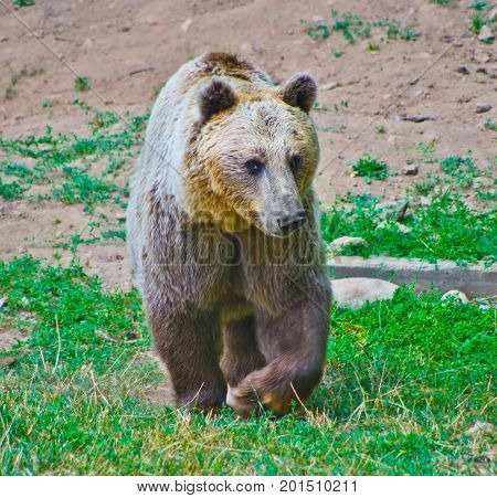 Brown Bear In The Mountains Looking For Food