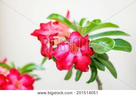 Desert Rose (Impala Lily Mock Azalea or Adenium) isolated on white background.