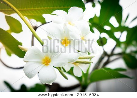 Frangipani flower (Plumeria alba) on blur background with artificial light in the morning with dew