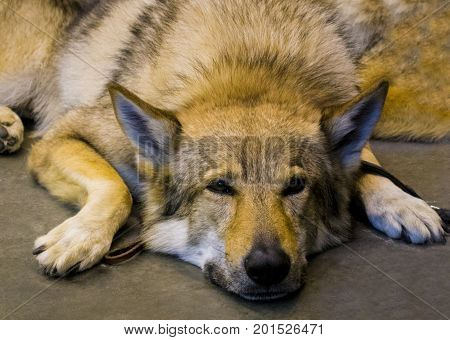 Portrait of a Wolf. gray wolf. portrait of a lying wolf